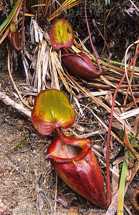 Pitcher Plant (Nepenthes kinabaluensis) Mount Kinabalu National Park, Sabah, Malaysia  -  Matthew Maran/ npl