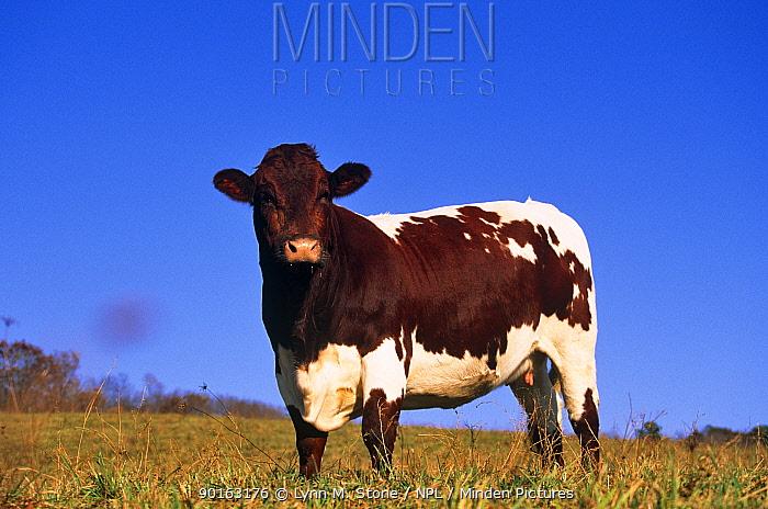 Domestic cattle, Pinzgauer cow, Wisconsin, USA  -  Lynn M. Stone/ npl