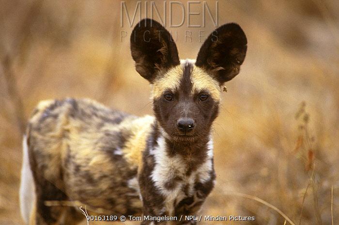 Wild Dog portrait (Lycaon pictus) Mala Mala, South Africa  -  Tom Mangelsen/ npl