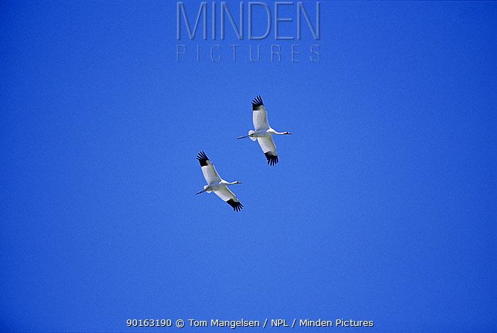 Whooping Cranes in flight (Grus americana) Texas USA Aransas National Wildlife Refuge  -  Tom Mangelsen/ npl