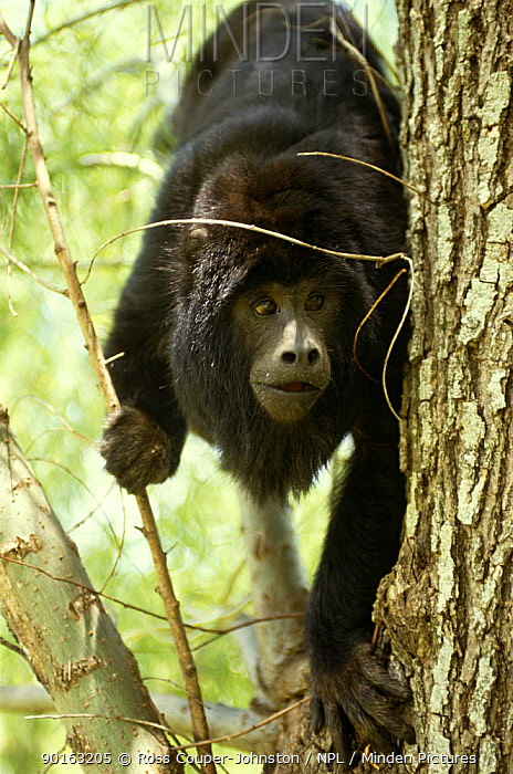Black howler monkey (Alouatta caraya) Ibera Marshes NR, Argentina  -  Ross Couper-Johnston/ npl