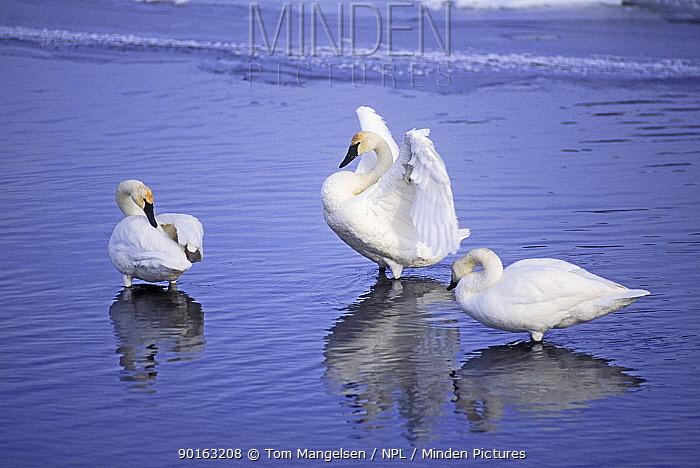 Trumpeter Swans, Yellowstone NP (Cygnus cygnus buccinator) Wyoming, US  -  Tom Mangelsen/ npl