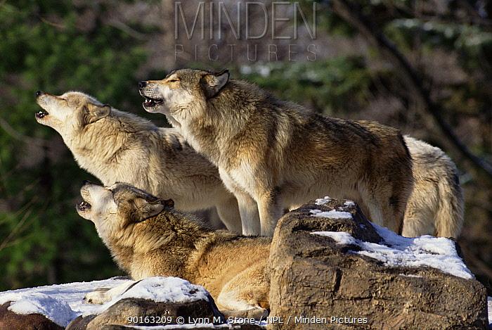 Grey wolf pack howling (Canis lupus) USA Captive  -  Lynn M. Stone/ npl