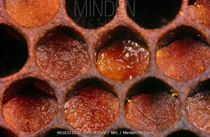 Honey Bee pollen cells (Apis mellifera)  -  John B Free/ npl