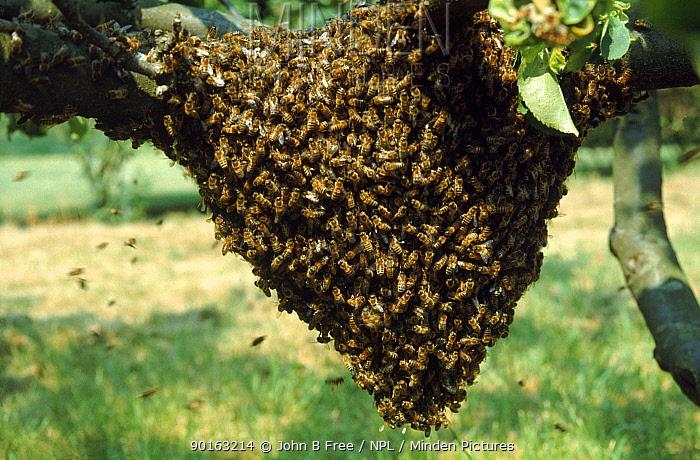 Honey Bee swarm  -  John B Free/ npl