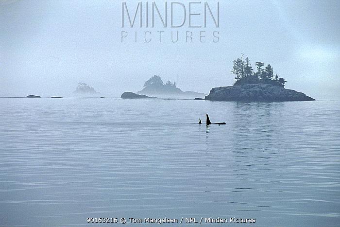 Killer whales in Johnstone Strait, Vancouver, Canada  -  Tom Mangelsen/ npl