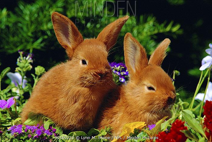 New Zealand domestic rabbits and flowers  -  Lynn M. Stone/ npl