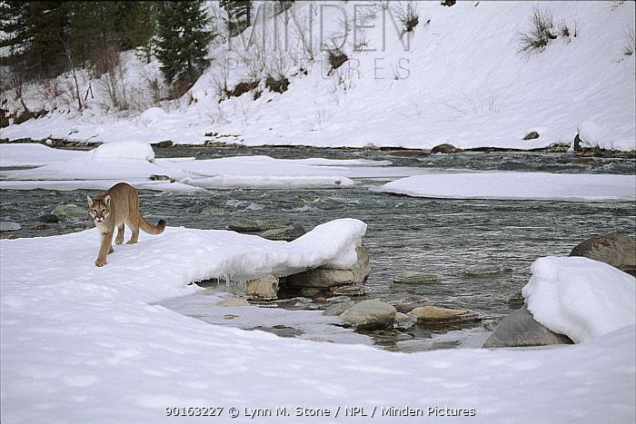 Puma by river in snow, Montana, USA (captive)  -  Lynn M. Stone/ npl