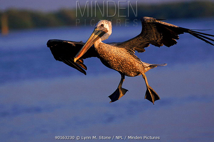Brown pelican (Pelecanus occidentalis) junvenile in flight Florida, USA  -  Lynn M. Stone/ npl
