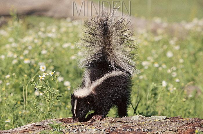Striped skunk, Minnesota, USA  -  Lynn M. Stone/ npl