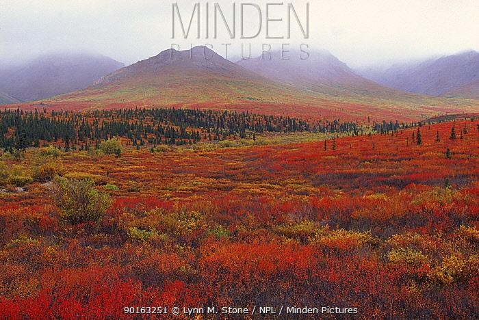 Tundra vegetation autumn Denali NP, Alaska, USA  -  Lynn M. Stone/ npl