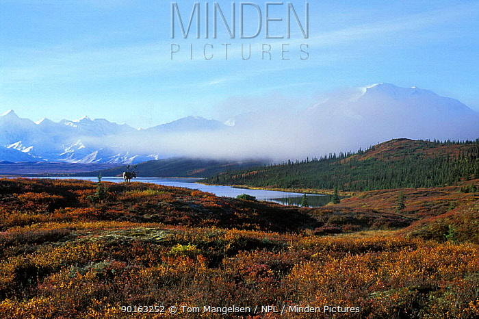 Denali NP, Alaska, USA with Caribou, Reindeer (Rangifer tarandus) autumn  -  Tom Mangelsen/ npl