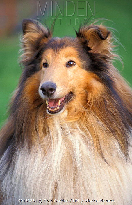 Rough collie dog head portrait (Canis familiaris) UK  -  Colin Seddon/ npl