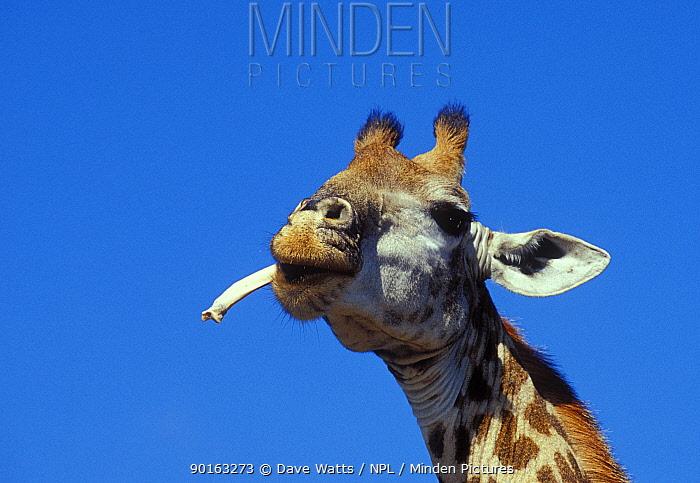 Giraffe (Giraffa camelopardalis) chewing on bone, Ithala GR, South Africa  -  Dave Watts/ npl