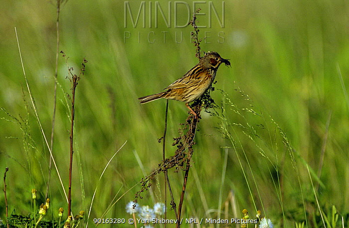 Grey headed, Chestnut eared bunting (Emberiza fucata) perching on grass with food in beak, South Primorsky Region, far east Russia  -  Yuri Shibnev/ npl