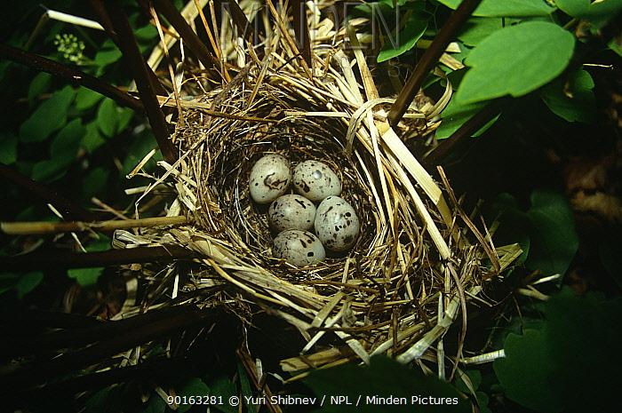 Five Tristram's bunting (Emberiza tristrami) eggs in nest, South Primorsky Region, far east Russia  -  Yuri Shibnev/ npl