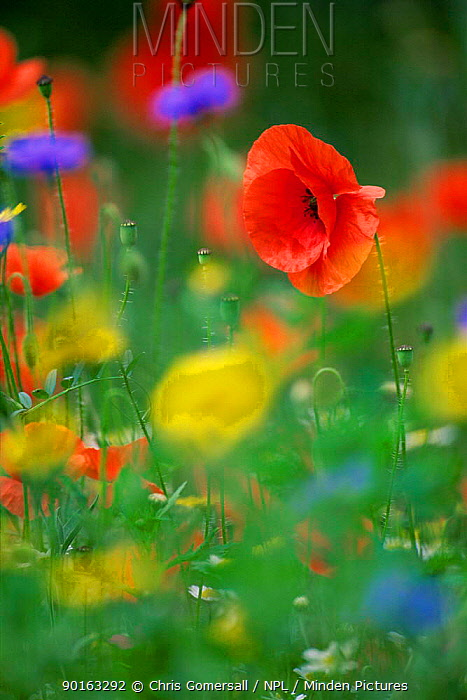 Common poppy (Papaver rhoeas) in wildflower meadow, UK  -  Chris Gomersall/ npl