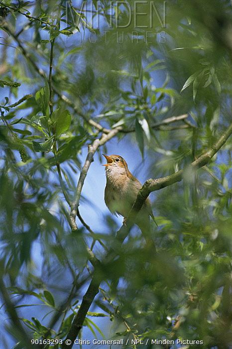 Nightingale singing (Erithacus, Luscinia megarhynchos) Cambridgeshire, UK  -  Chris Gomersall/ npl