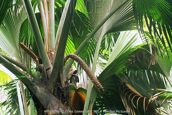 Coco de Mer palm (Lodoicea maldivica) male tree, Valle de Mai NP, Praslin, Seychelles  -  Chris Gomersall/ npl