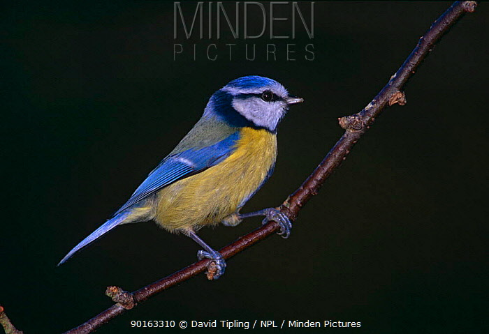 Blue Tit (Parus caeruleus) UK  -  David Tipling/ npl