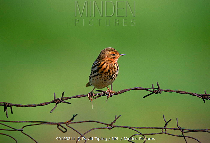 Red-Throated pipit (Anthus cervinus) perched on wire in breeding plumage, Greece  -  David Tipling/ npl