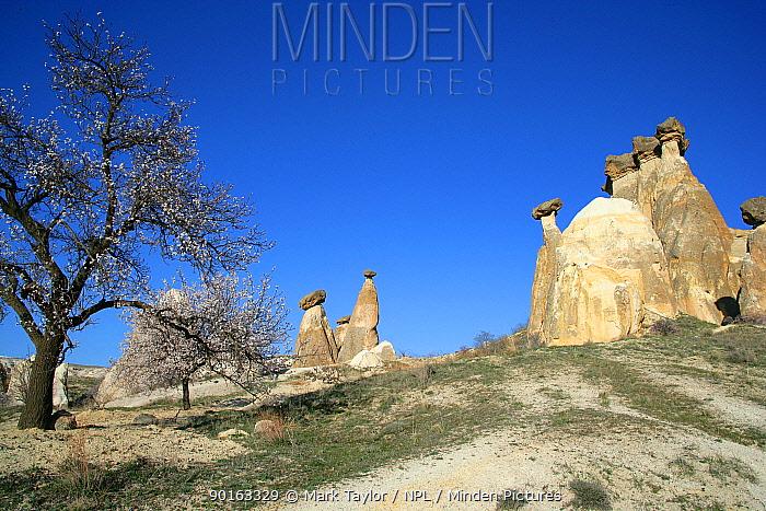 Fairy chimneys with almond trees in blossom, Kapadokia, Turkey  -  Mark Taylor/ npl