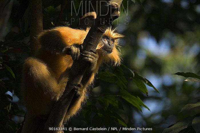 Golden Leaf, Golden Langur monkey (Trachypithecus, Presbytis geei) sitting in tree, Endangered, Kaziranga NP, Assam, India  -  Bernard Castelein/ npl
