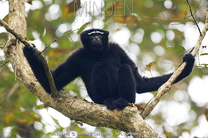 White browed, Hoolock Gibbon (Hylobates hoolock) male in tree, Assam, India  -  Bernard Castelein/ npl