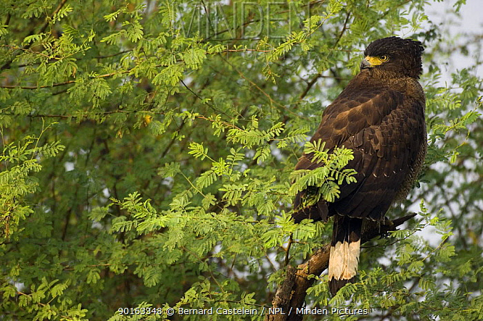 Crested Serpent Eagle (Spilornis cheela) perched in tree head turned looking backwards, Keoladeo Ghana NP, Bharatpur, Rajasthan, India  -  Bernard Castelein/ npl