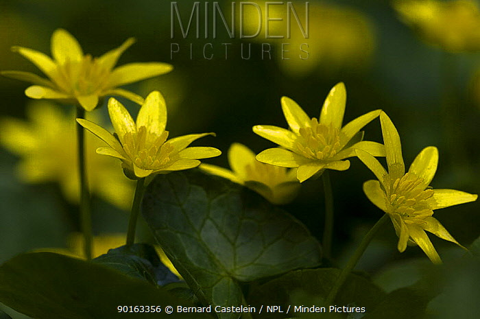 Lesser celandine, Figwort (Ranunculus ficaria) France  -  Bernard Castelein/ npl
