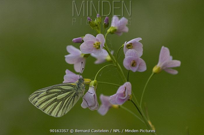 Green-veined white butterfly (Pieris napi) on Cuckoo-flower (Cardamine pratensis), Belgium  -  Bernard Castelein/ npl