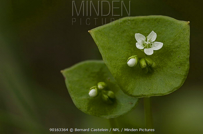 Miner's lettuce, Winter purslane (Claytonia perfoliata) Belgium  -  Bernard Castelein/ npl