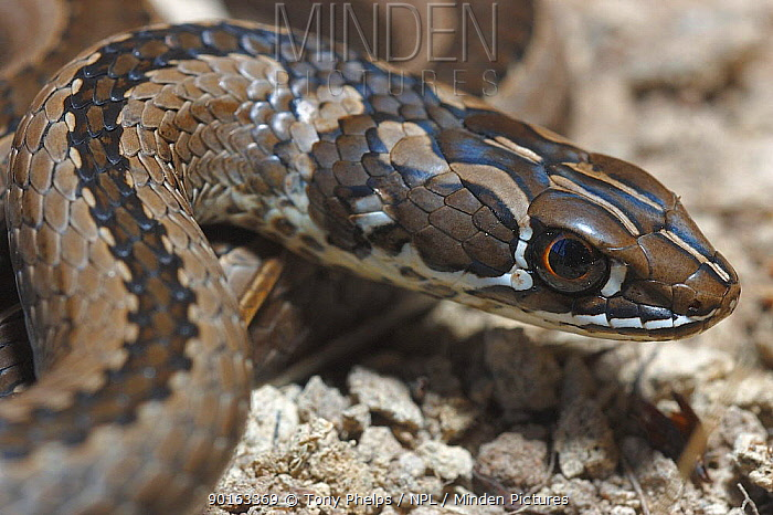 Cross marked whip snake (Psammophis crucifer) male, DeHoop NR, Western Cape, South Africa  -  Tony Phelps/ npl