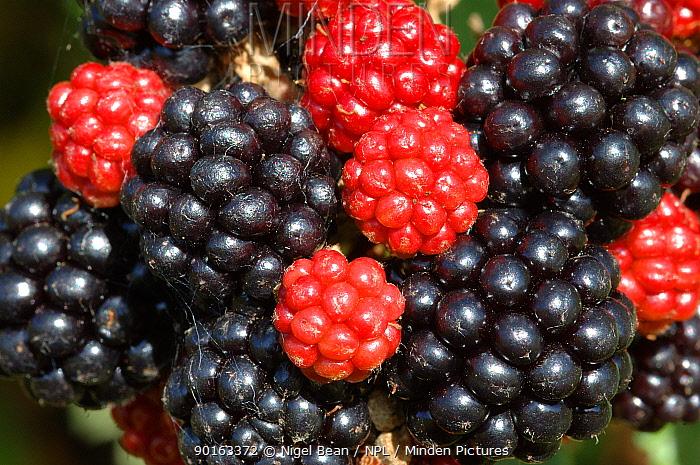 Blackberries (Rubus fructicosus) close up of fruit, Somerset, UK  -  Nigel Bean/ npl