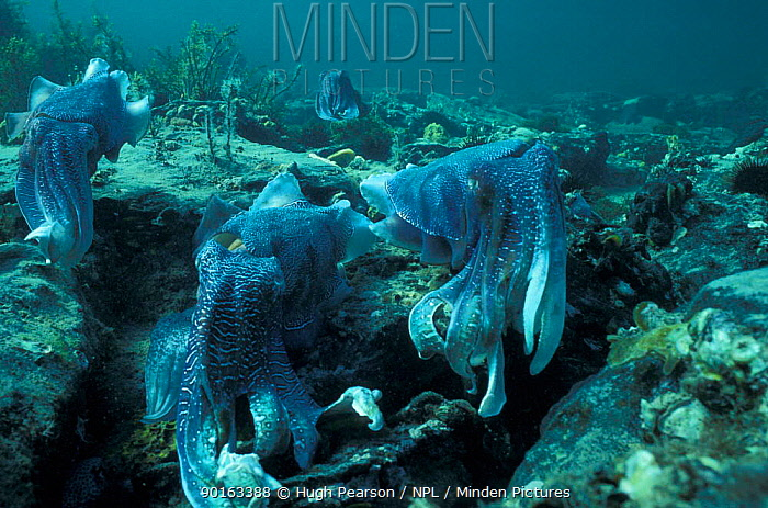 Giant cuttlefish males displaying (Sepia apama) Whyalla, South Australia  -  Hugh Pearson/ npl