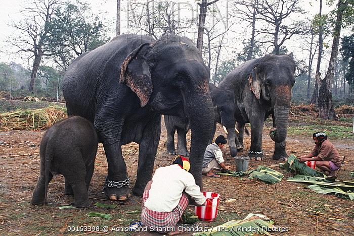 People feeding domesticated Indian elephants, Jaldapara WS, West Bengal, N India  -  Ashish Shanthi Chandola/ npl