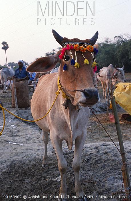Bullock for sale at Sonepur fair, Bihar, India  -  Ashish Shanthi Chandola/ npl