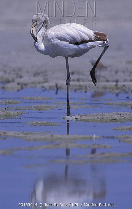 Greater flamingo juvenile (Phoenicopterus ruber) Laguna de Fuentepiedra NP, Spain  -  Jose B. Ruiz/ npl