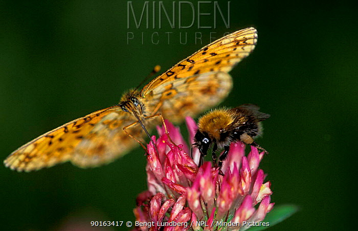High brown fritillary butterfly (Argynnis adippe) and Bumble bee feed on flower nectar, Sweden  -  Bengt Lundberg/ npl