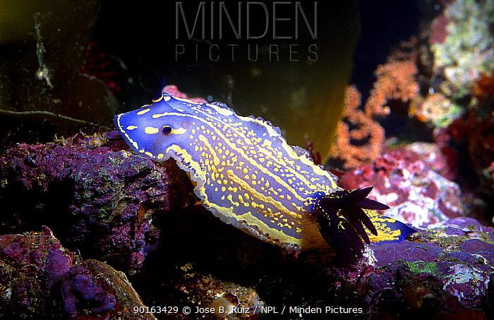 Dorid nudibranch (Hypselodoris picta) Mediterranean  -  Jose B. Ruiz/ npl