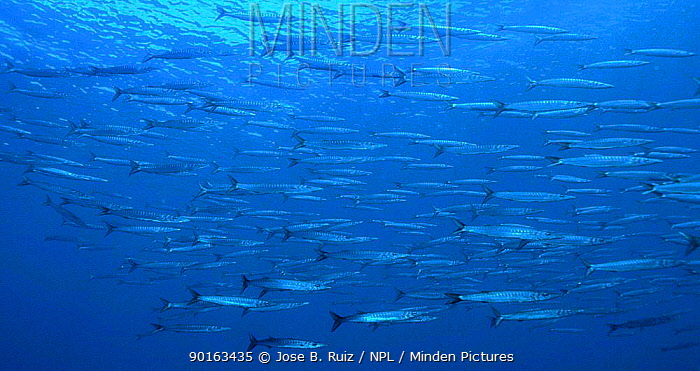 Mediterranean barracuda shoal (Sphyraena sphyraena) Mediterranean  -  Jose B. Ruiz/ npl