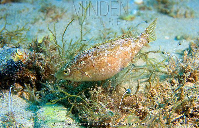 Grey wrasse (Symphodus cinereus) male builds nest in sand with algae and shells, female(s) lay eggs in nest for male to fertilise and care for Mediterranean  -  Jose B. Ruiz/ npl