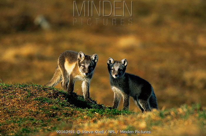Two Arctic fox cubs (Vulpes lagopus) close to den in summer, Fenno-Scandia subspecies, Sweden  -  Steve Knell/ npl