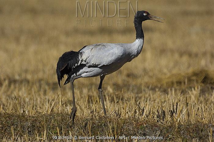 Black-necked crane (Grus nigricollis), Shangti Valley, Arunachal Pradesh, India  -  Bernard Castelein/ npl