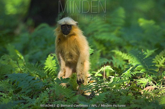 Golden Leaf, Golden Langur monkey (Trachypithecus, Presbytis geei) in forest, Endangered, Kaziranga NP, Assam, India  -  Bernard Castelein/ npl