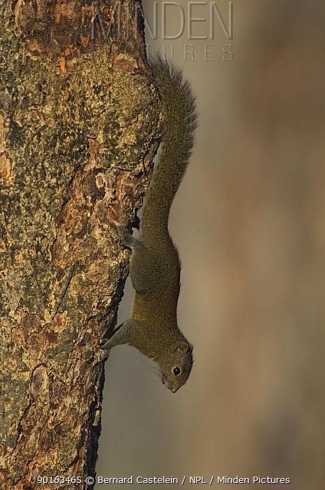 Orange bellied Himalayan Squirrel (Dremomys lokriah) descending tree trunk, Assam, India  -  Bernard Castelein/ npl