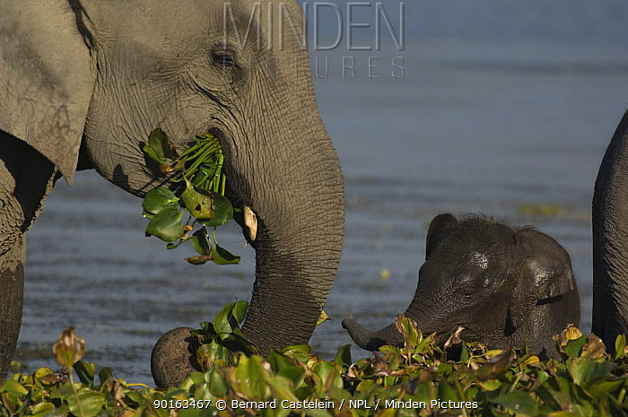 Indian elephant (Elephas maximus) adult and baby grazing on aquatic plants in lake, Assam, India  -  Bernard Castelein/ npl