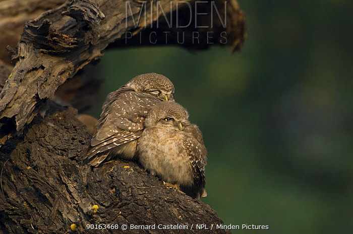 Spotted Owlet (Athena brama) adult and chick huddled together, Keoladeo Ghana NP, Bharatpur, Rajasthan, India  -  Bernard Castelein/ npl