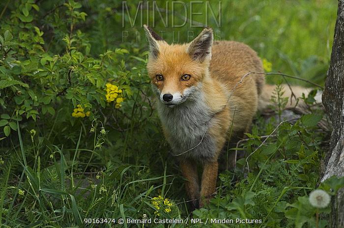 Red Fox (Vulpes vulpes) Mercantour NP, Alpes Maritimes, France  -  Bernard Castelein/ npl