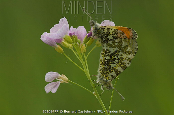 Orange tip butterfly (Anthocharis cardamines) pair mating on Cuckoo-flower (Cardamine pratensis) Belgium  -  Bernard Castelein/ npl